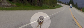 Screenshot of Vancouver Province online article showing photo of wolf chasing motocyclist